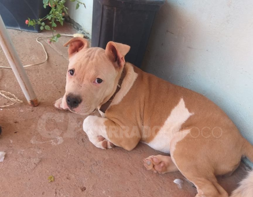 LEM: Moradora do Bairro Parque São José pede ajuda para encontrar sua cachorrinha da raça Pit Bull